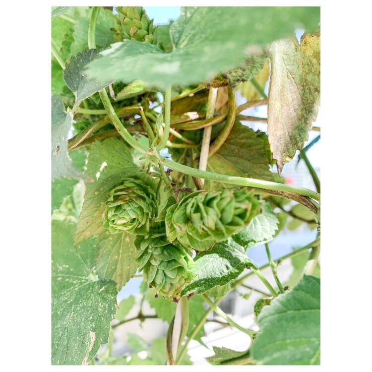 """8月20日 キラリナテラスで、真夏の晴天。そろそろ収穫時期。【""""ふりかえり""""ホップ育成日記】"""